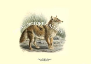 Prairie-Wolf Or Coyote, Canis Latrans